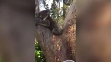 Koala laps up water in scorching Adelaide heat