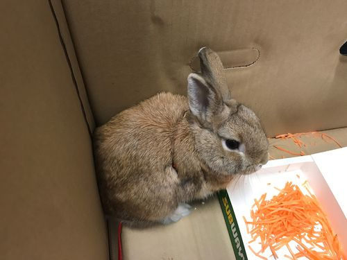 Detectives gave the rabbit some grated carrot to munch on while he waited for the RSPCA to arrive. Picture: 9NEWS