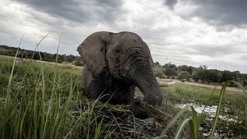 Why Botswana's villagers are demanding the return of elephant hunting