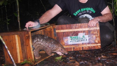 A pangolin is released into the wild. (AFP)