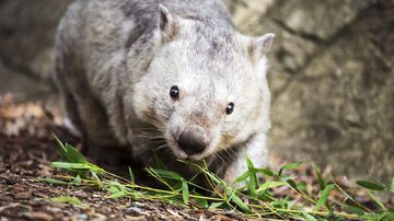 High-dollar tourists were invited to a rural property in Victoria to hunt wombats.
