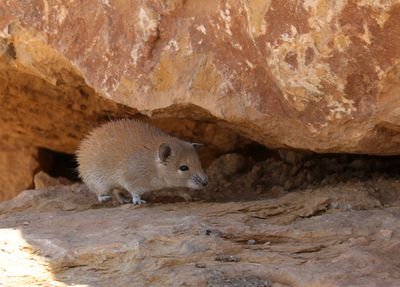 <strong>#8 Golden spiny mouse</strong>