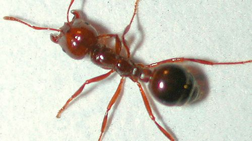 Close-up photograph of a red ant. (AAP)