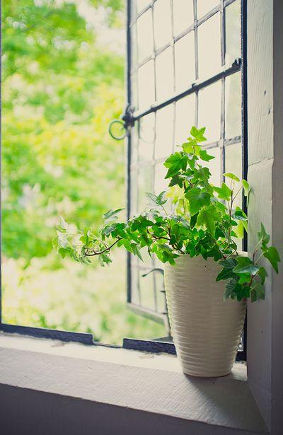 6. English Ivy