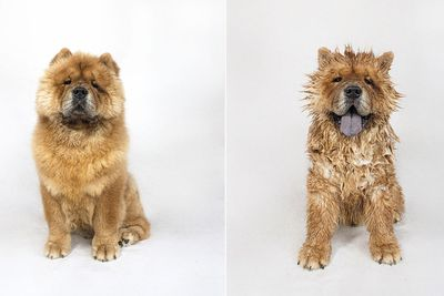 <p>Little G the Chow Chow</p>
