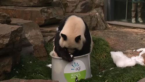 Wang Wang enjoys his bubble bath. (9NEWS)