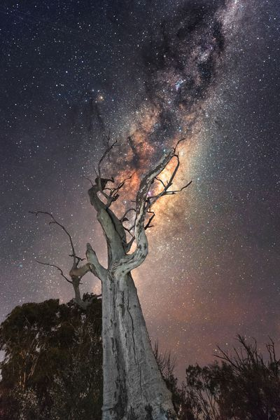 Milky Way shines above bar tree in Mid Murray region