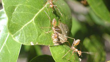 Yellow crazy ants. (AAP)