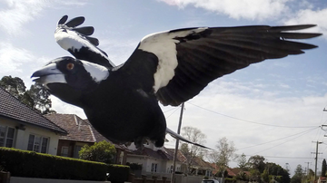 Magpies usually swoop to ward of threats to their chicks. Note, this is not the magpie in question.