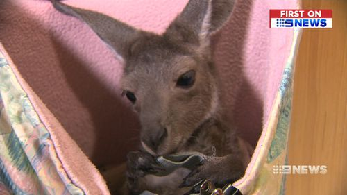 When caring for a critically ill joey, the couple will also use a humidicrib which regulates the animal's body temperature. (9NEWS)