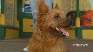 Rusty the terrier travels 1500km after hitching a ride with truckie