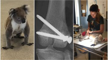 'Ernie' the koala recovering after being struck by car