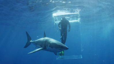 Shark experts dive into shark-infested waters to study Great Whites