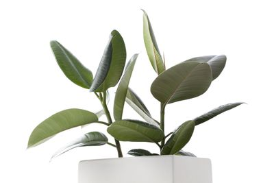 <strong>Rubber Plant</strong>