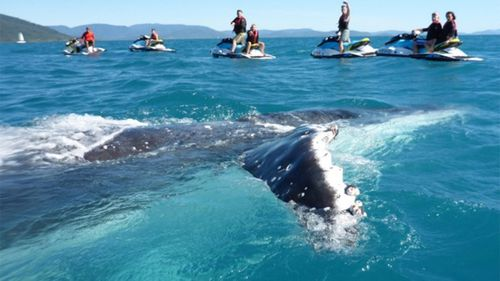 The whale soaked up the attention for more than an hour. (Whitsunday Jetski Tours)