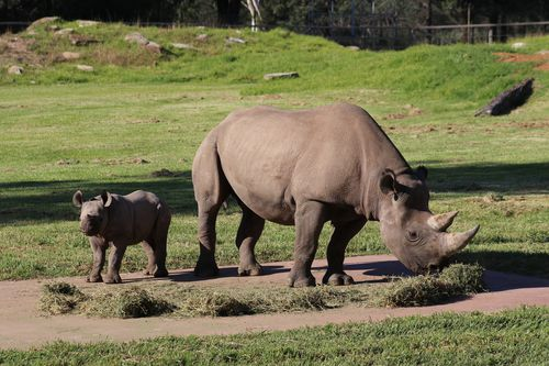 Three busloads of tourists from Sydney arrived at Taronga Western Plains Zoo yesterday in breach of COVID-19 restrictions. Pictured is a Black Rhino calf born at the zoo and its mother.