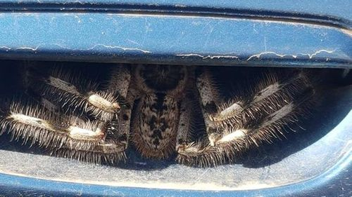 Christine Jones' photo posted to the Australian spider identification page.