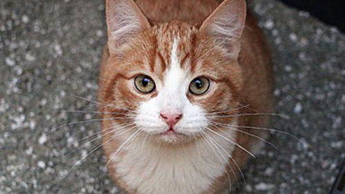 Gato doméstico en una caja de arena (Getty Images)