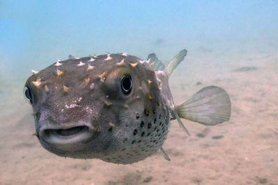 <p>Puffer fish</p>