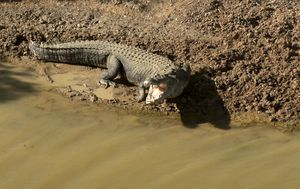 North Queensland Council calls for urgent removal of saltwater crocs