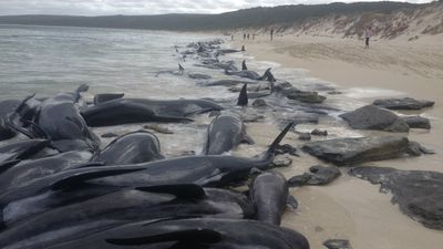 Beachside horror as 150 whales strand themselves
