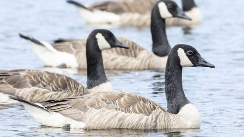 Canada geese NZ lake pollution