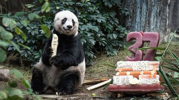 Giant panda Jia Jia eats a bamboo stick next to her cake made of ice and fruit juice to mark her 37th birthday at an amusement park in Hong Kong. (AFP)