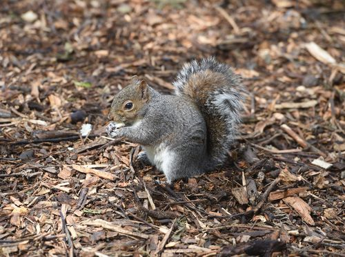 A squirrel eats a nut in Kew Gardens. (AAP)