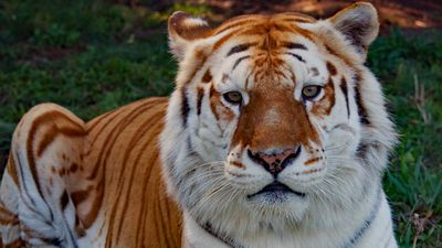 Dreamworld marks passing of 'cheeky' tiger Rama