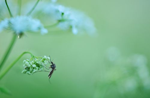 Mosquito on a parsley flower