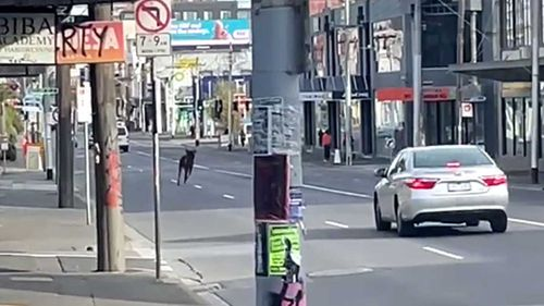 A deer seen running through the streets of Fitzroy this morning.