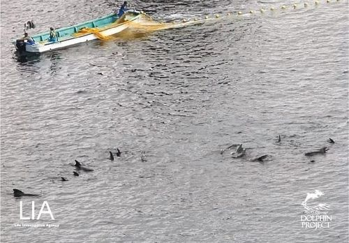 The pod of pilot whales were herded into the cove and kept in nets for three days. Twenty two of the animals were killed on the second day.
