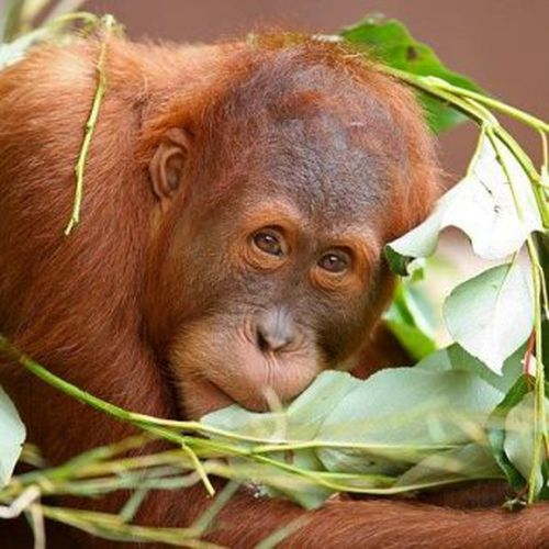 Orangutan escapes from Melbourne zoo enclosure for the second time
