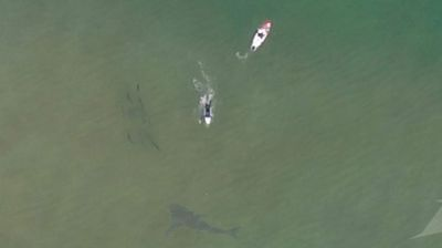 The shark, which could have been a great white is at least as long as Andie Caska's 9 foot 6 paddleboard.