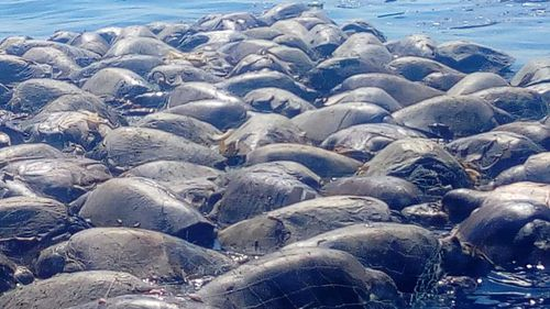 Hundreds of olive ridley turtles were killed by the fishing line.