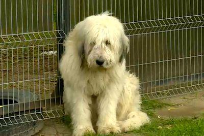 Romanian dog