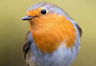 Daily Quiz: This robin redbreast is mainly endemic to which continent?
