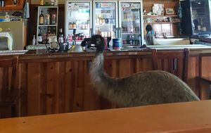 Outback pub made famous by bizarre emu ban