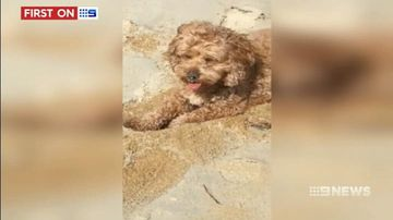 VIDEO: Furious dog owner claims pet Cavoodle left locked up in hot Qantas cargo crate