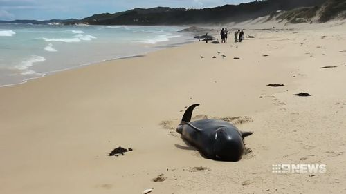 All of the 28 beached whales have died.