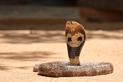 Sooraj Kumar obtained the cobra from a snake charmer.