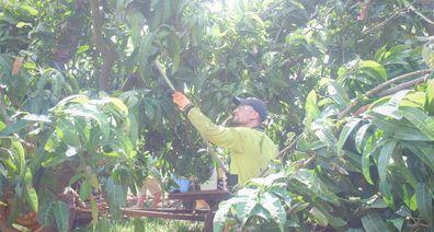 Harvesting mangoes in Gin Gin, Qld