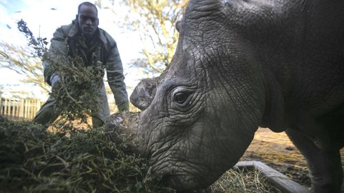 The drastic measures to protect the last male northern white rhino in the world