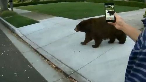 Resident seems undisturbed while videoing the bear on his iPhone in close proximity.