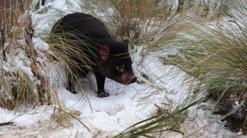 Tasmanian devil declared the state's official animal emblem