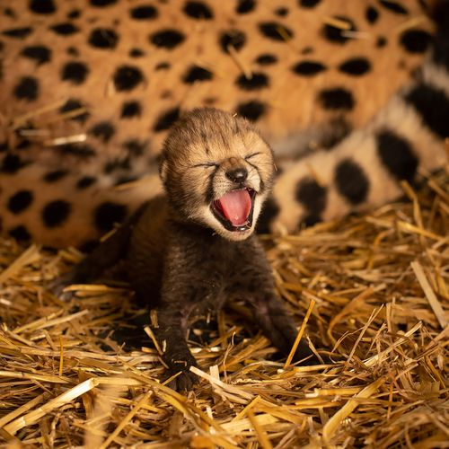 Cheetah born using IVF in Ohio