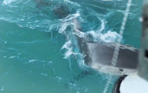 Quarantining divers film tiger shark taking repeated bites at boat in 'middle of nowhere'