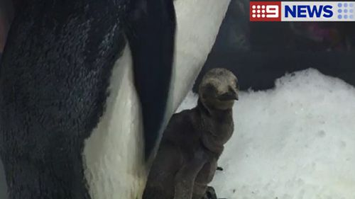 The king chick was born 3 weeks ago. (9NEWS)