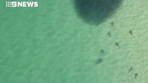 Whaler sharks, juvenile great white sharks and bull sharks were spotted hunting the baitfish. (9NEWS)