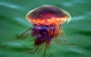 Jellyfish the size of dinner plates to descend on US beaches